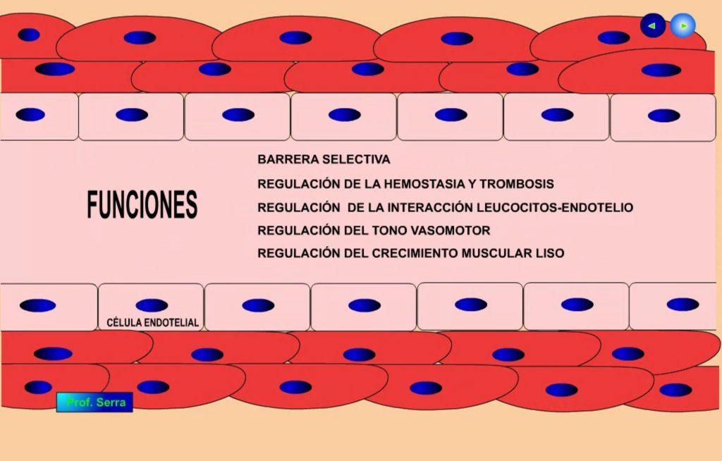 endotelio 3