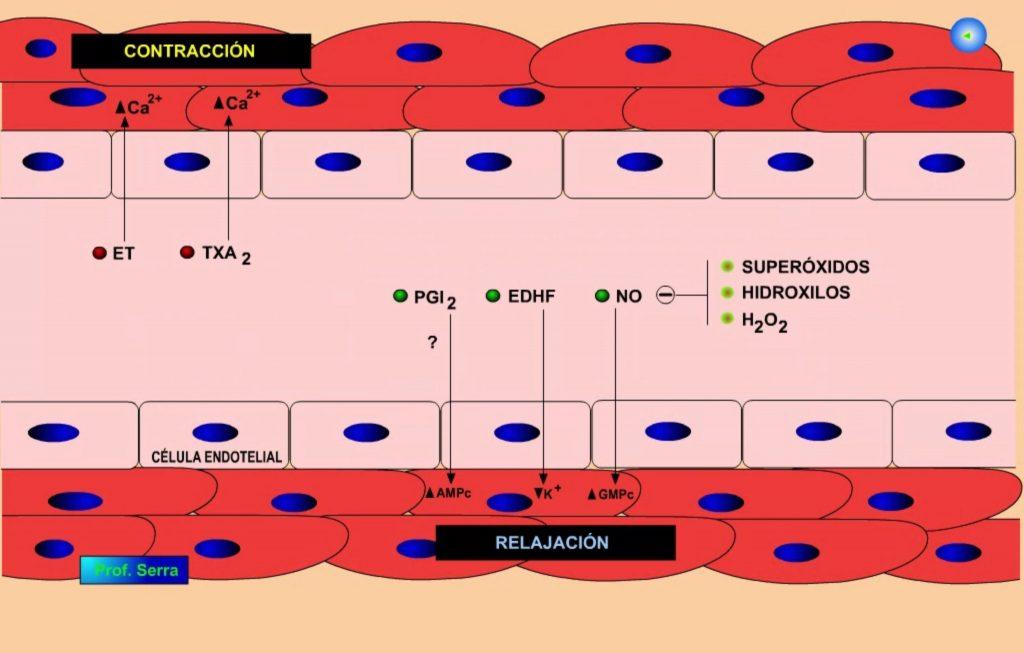 endotelio 4