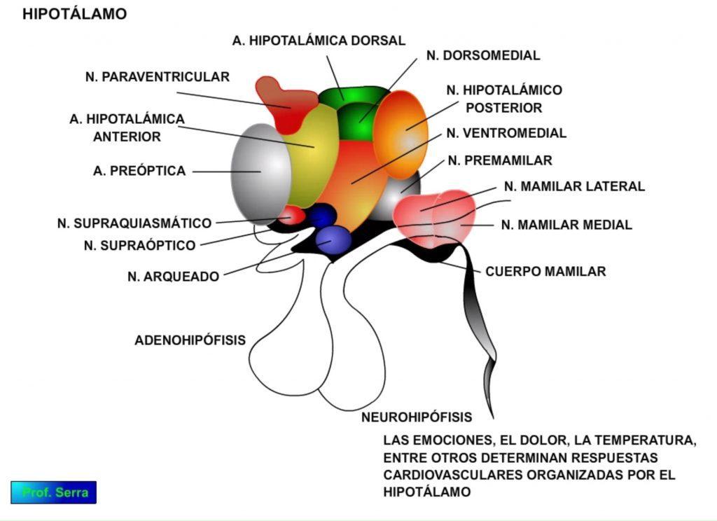 Hipotálamo cardiovascular