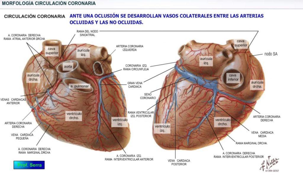 morfología circulación coronaria