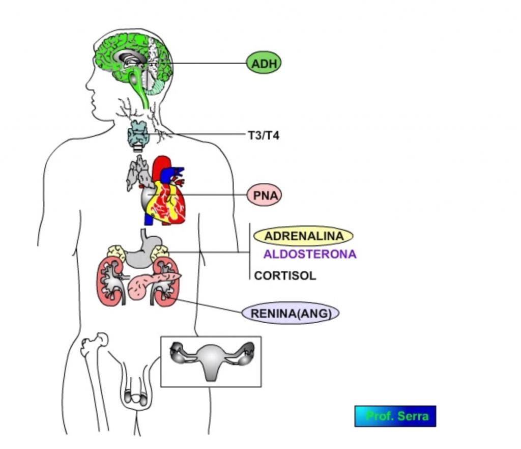 regulación endocrina del sistema cardiovascular