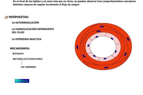 Regulación local del sistema cardiovascular