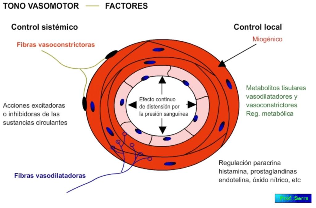 factores que influyen en el tono basal vascular