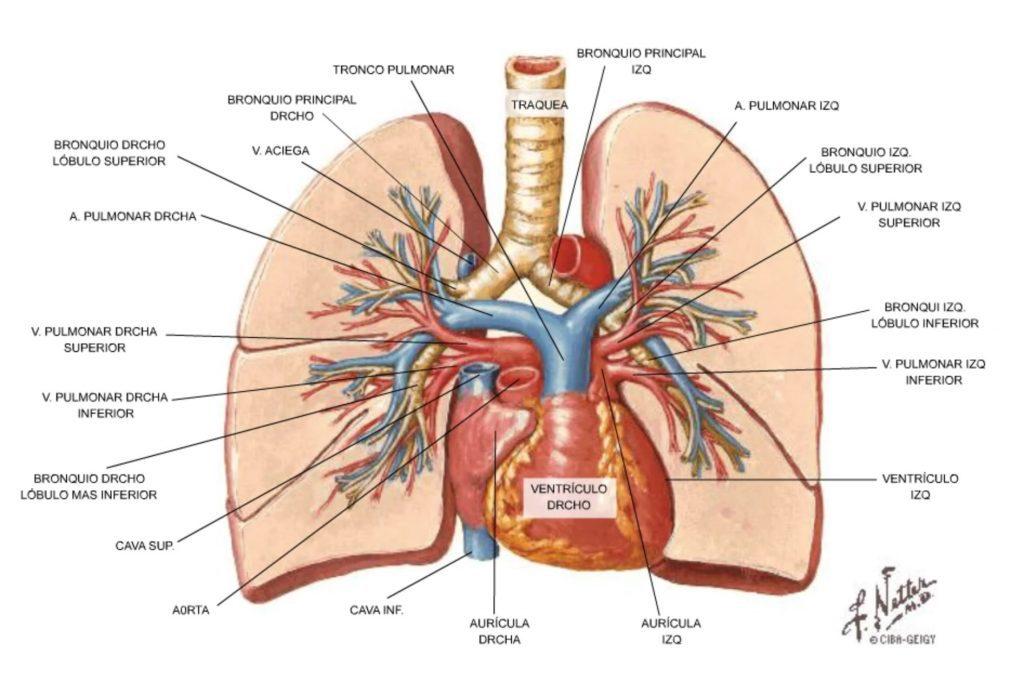 morfología circulación pulmonar