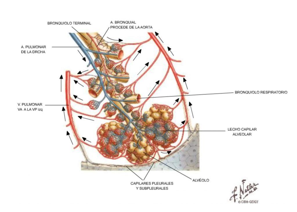 morfologia circulación alveolar