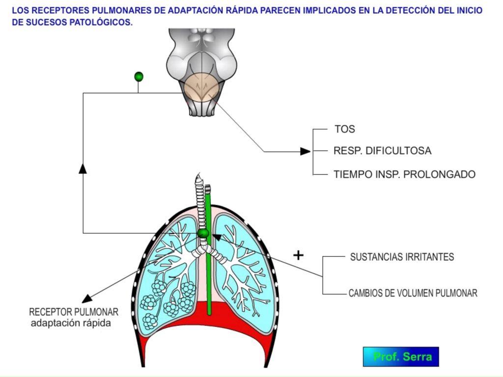 Receptores pulmonares rápidos