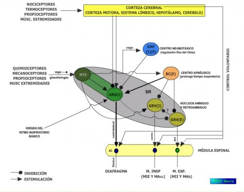 Organización de los centros reguladores respiratorios