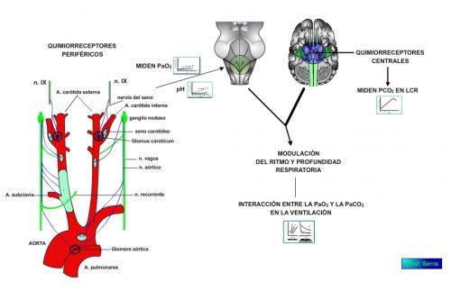 Reflejos pulmonares