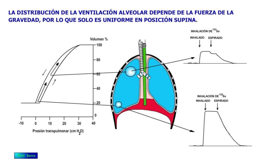 Acción de la gravedad sobre la ventilación alveolar.