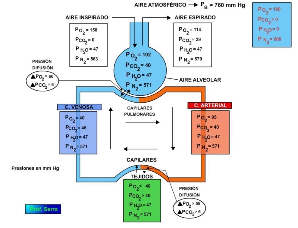 Distribución de los gases respiratorios
