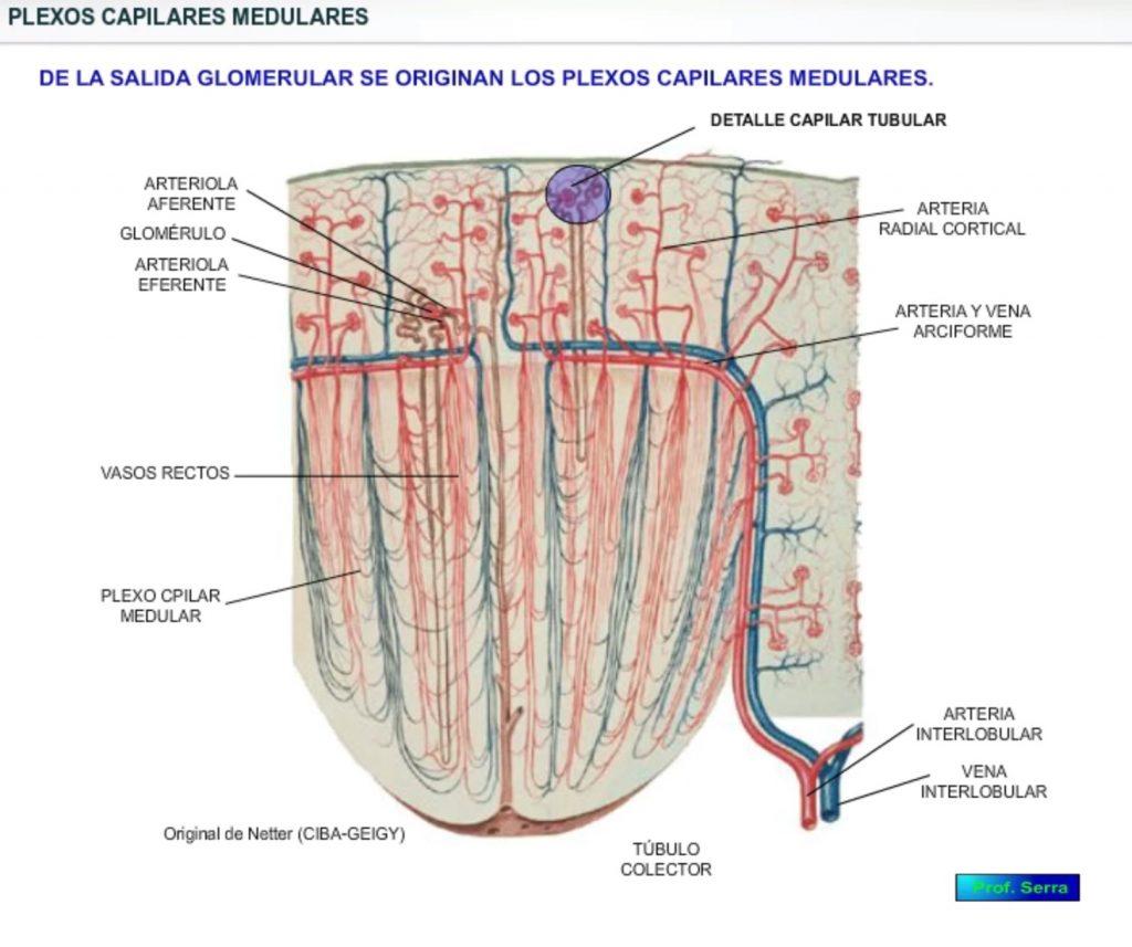 Arterias interlobulares