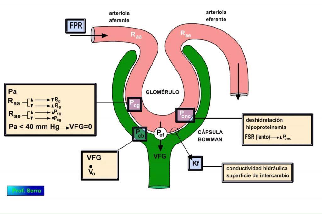 Factores reguladores de la filtración glomerular