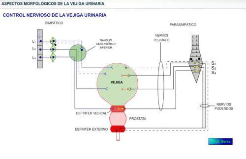 Inervación de la vejiga urinaria