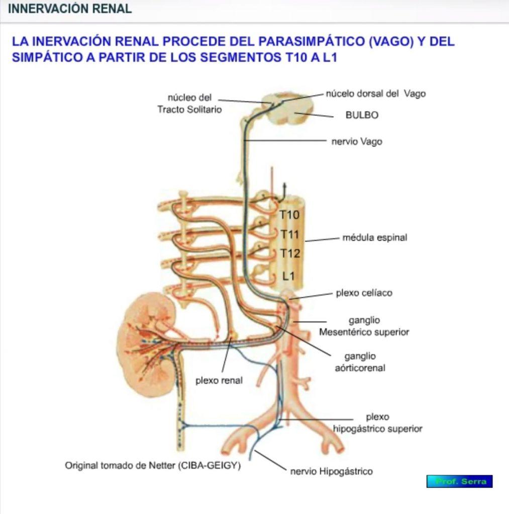 Inervación renal