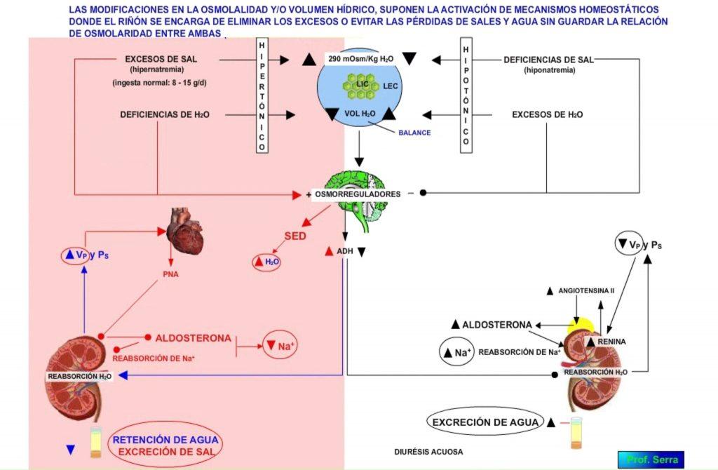 Regulación osmolaridad y volumen