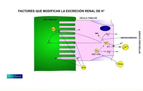 Mecanismo de acción en el control renal de la excreción de hidrogeniones