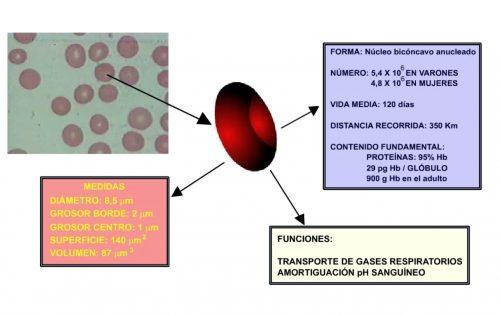 Características de los eritrocitos