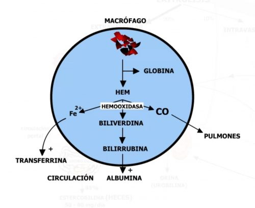 Degradación de la bilirrubina