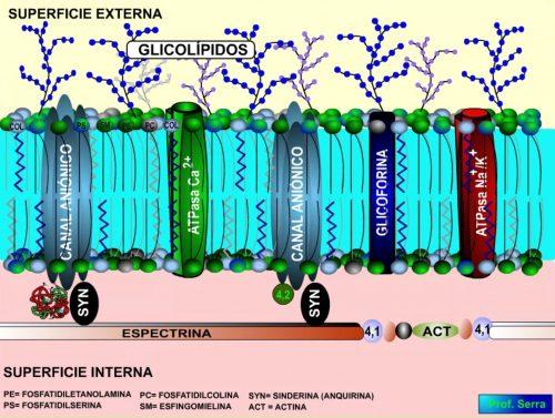 Membrana del glóbulo rojo
