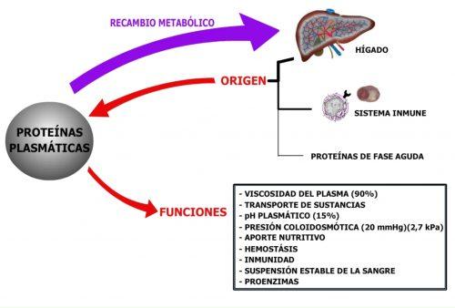Origen de las proteínas plasmáticas.