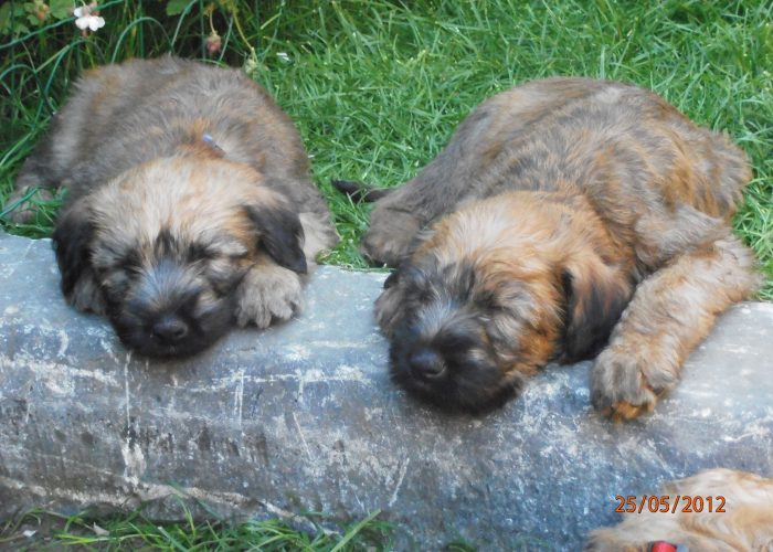Irish softcoated wheaten terrier Belgie