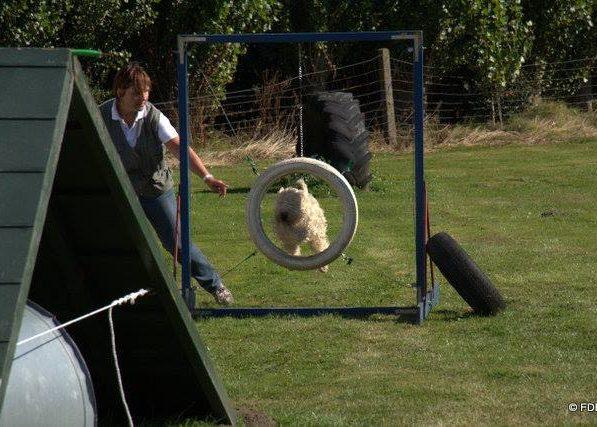 Wheaten terrier agility