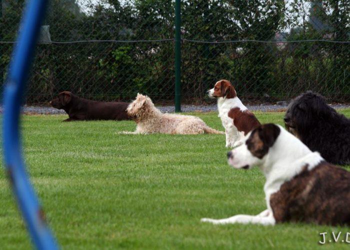 Wheaten terrier @ work