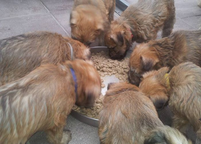Pups Irish softcoated wheaten terrier Roeselare