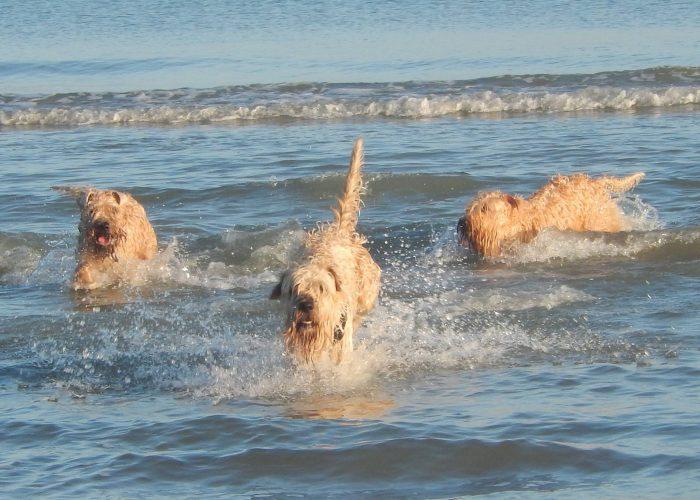 Irish softcoated wheaten terrier wheatenlove zwemmen swim