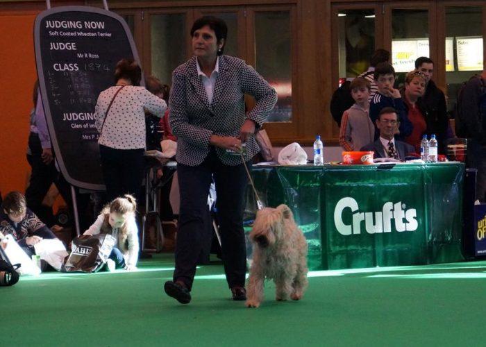 Wheatenlove show Irish softcoated wheaten terrier