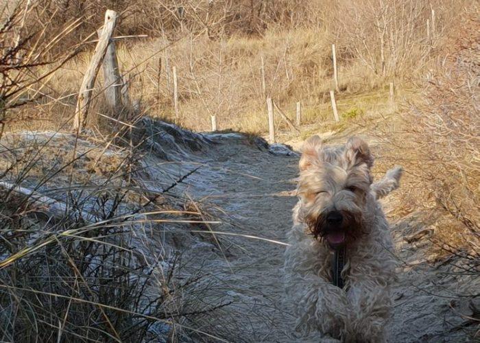Wheaten terriers te koop
