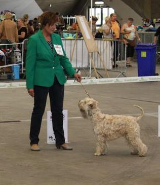 Hond hypoallergeen labradoodle