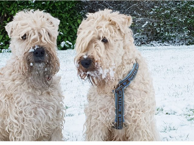 Irish softcoated wheaten terrier karakter