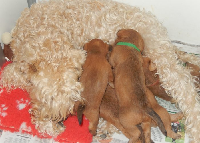 Nest Wheaten Terrier