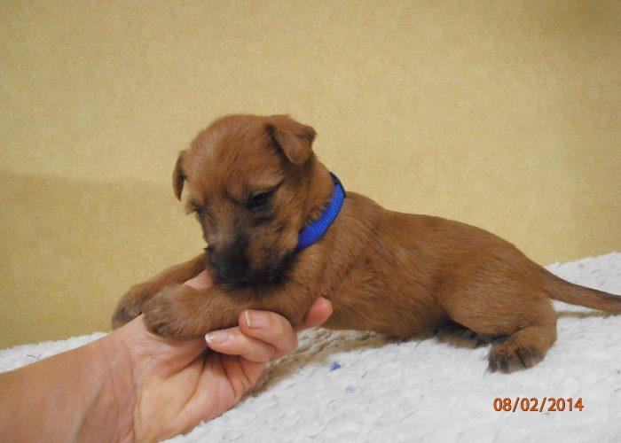 Wheatenlove Nauthty Norah pup vier weken