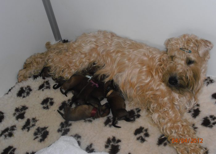 Irish softcoated wheaten terrier nestje pasgeboren