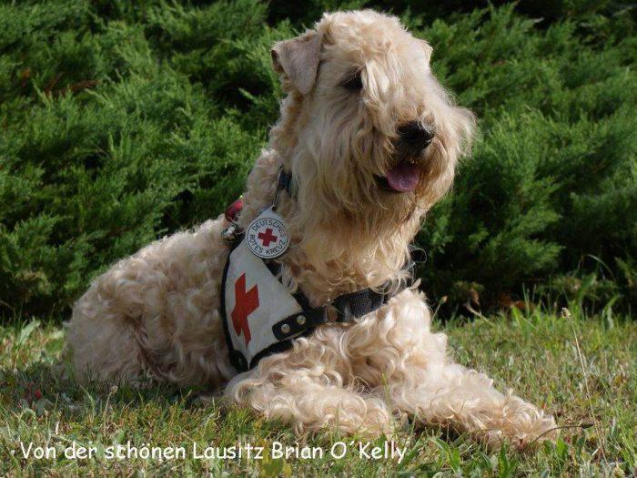 Reddingshond wheaten terrier working dog