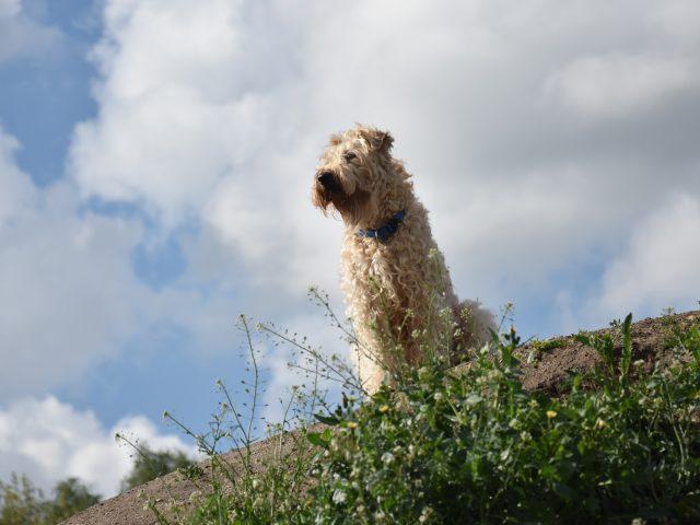 Irish softcoated wheaten terrier pups