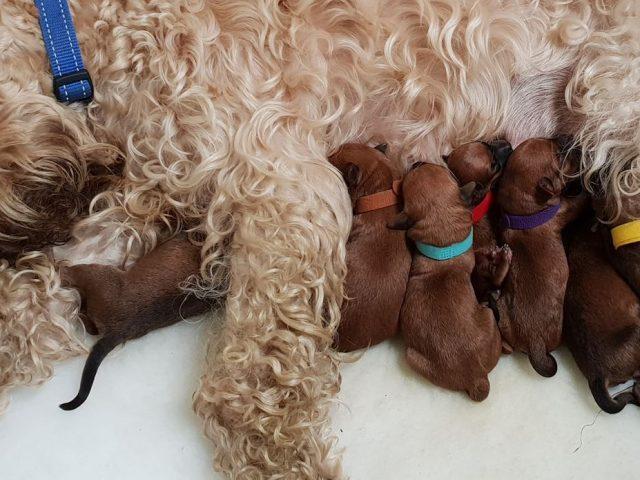 Wheatenlove Pups Ssss
