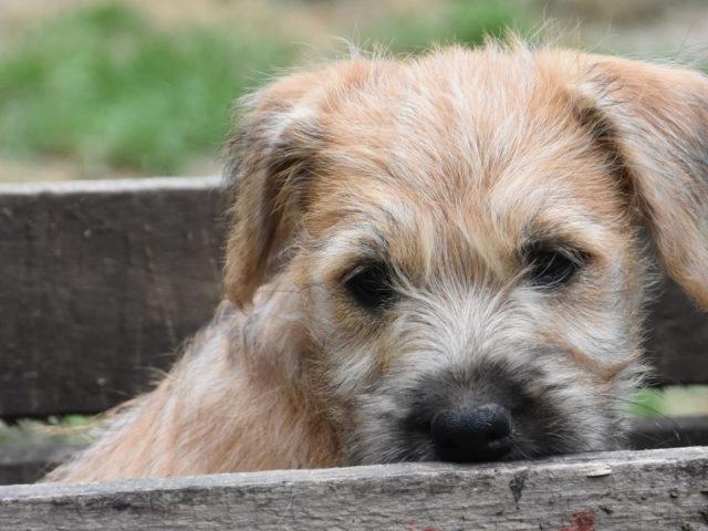Wheatenlove pup 8 weken