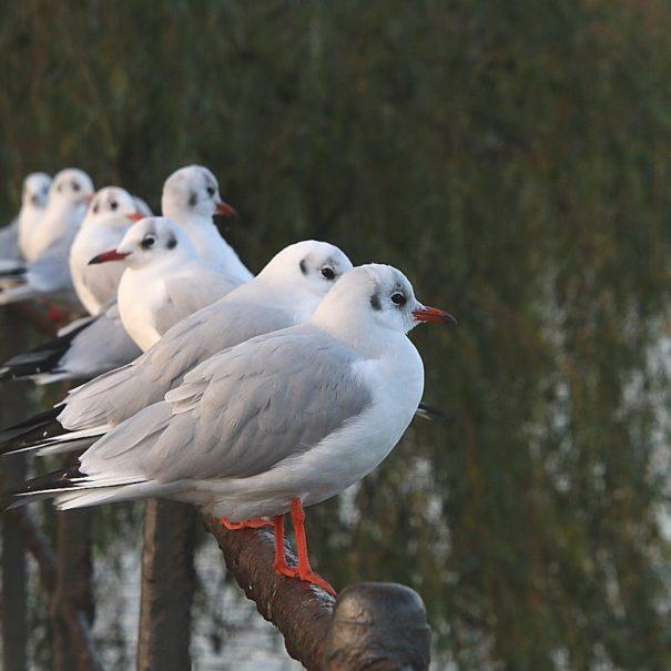 Urban Birding, Stadgraven, København