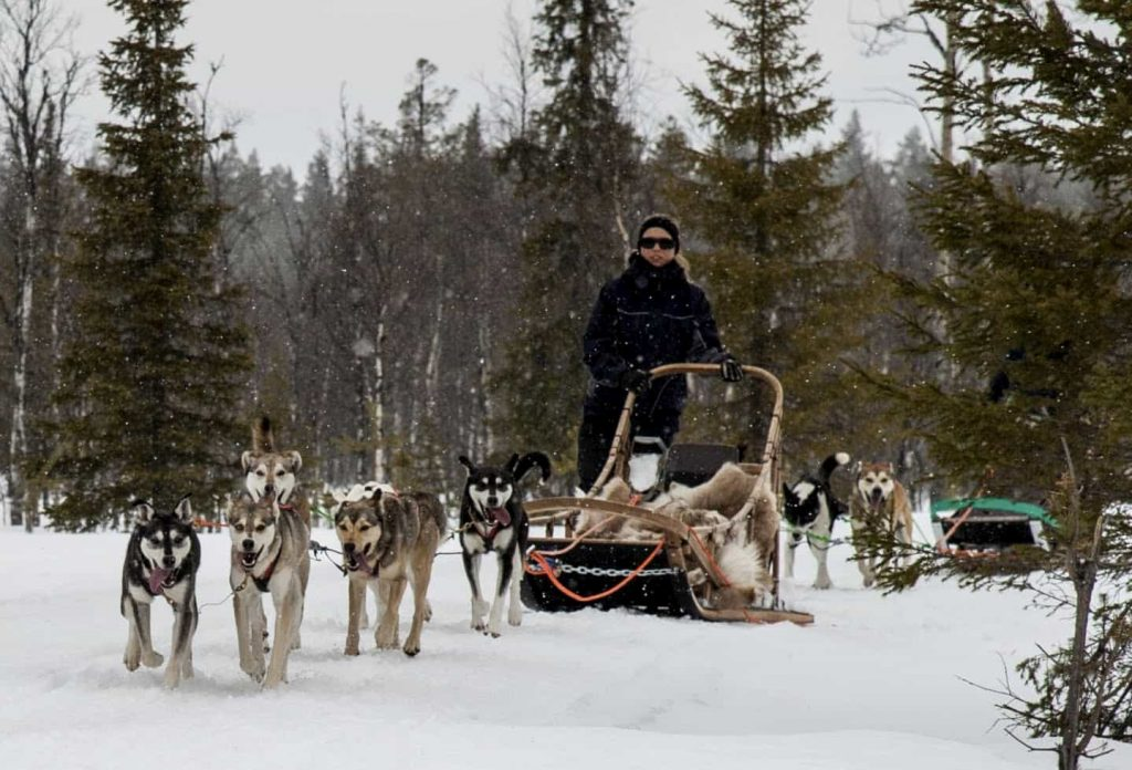 Woman driving husky dog sledge in the winter forest in lapland