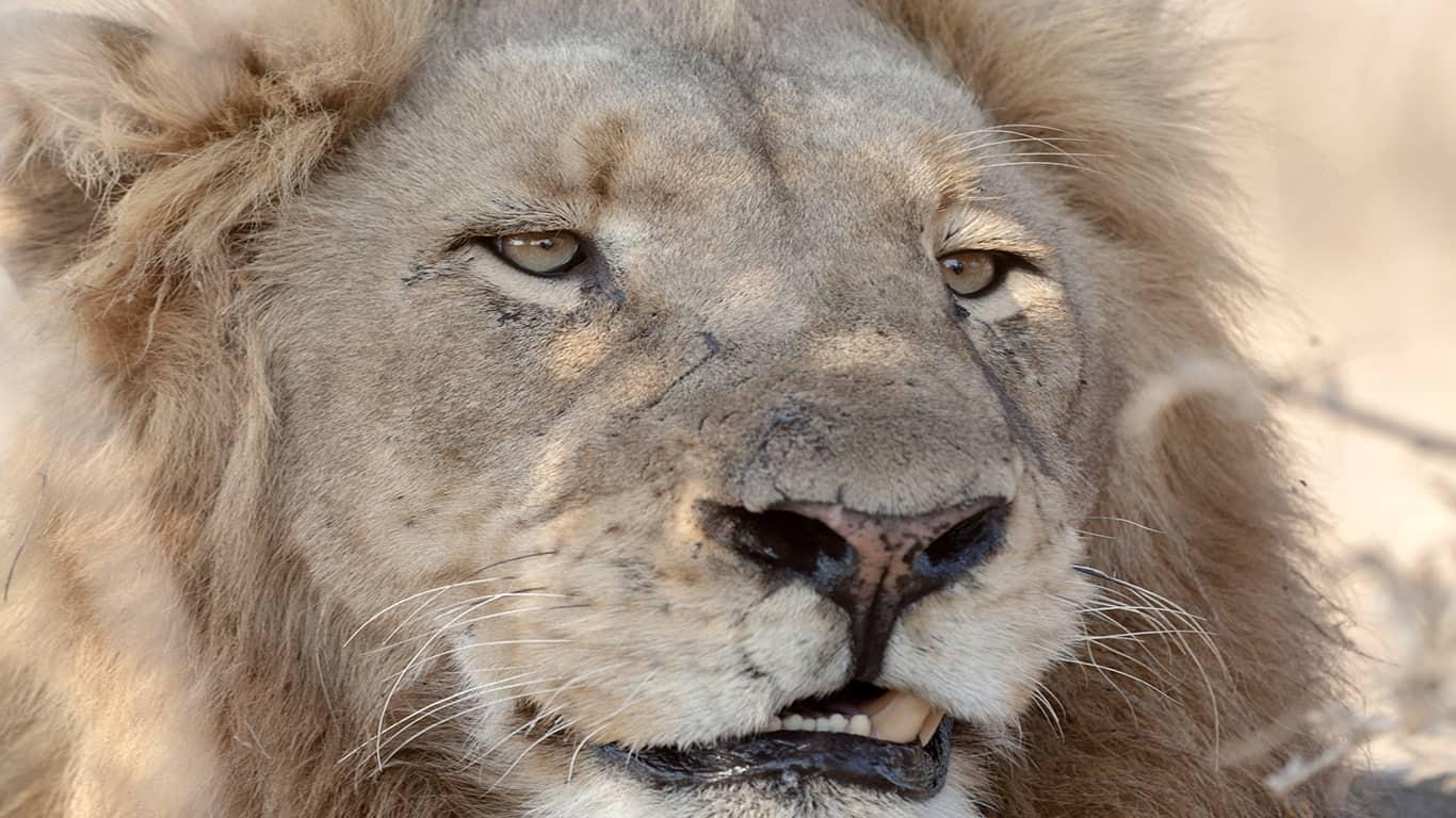 Kruger National Park: Lion experience