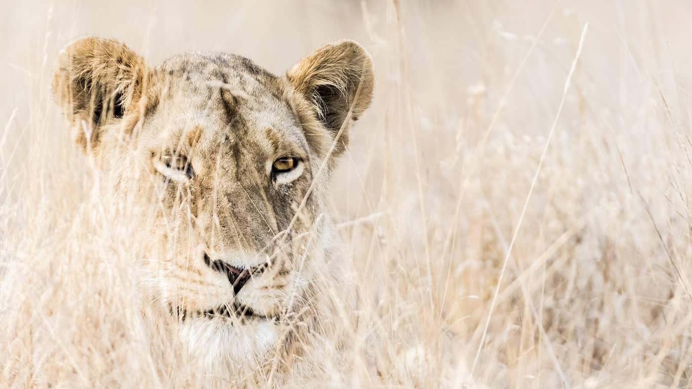 Kruger National Park - Lion Safari