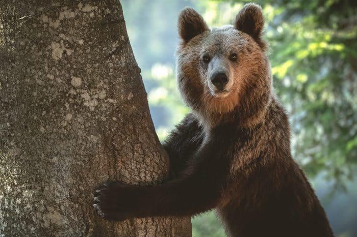 Viaggio fotografico Slovenia <ul> Bear Photo Tour