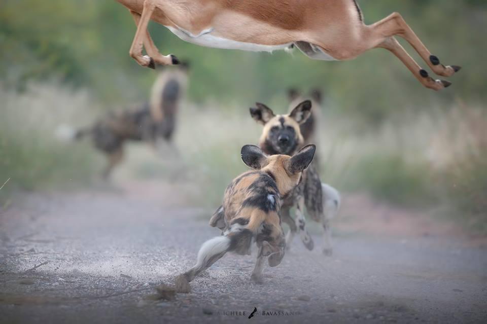Kruger National Park - Wild Dog Photo Tour