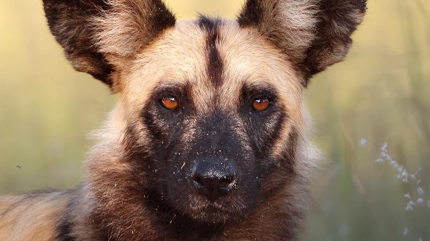 Kruger National Park - Wild Dog Safari