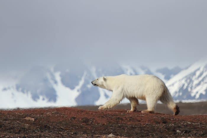 Viaggio fotografico Svalbard <ul> Polar Bear Photo Tour