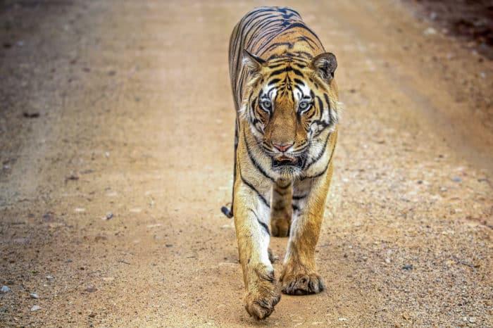 Viaggio fotografico India – Tiger Experience <ul> ( Pench – Kanha – Bandhavgarh )