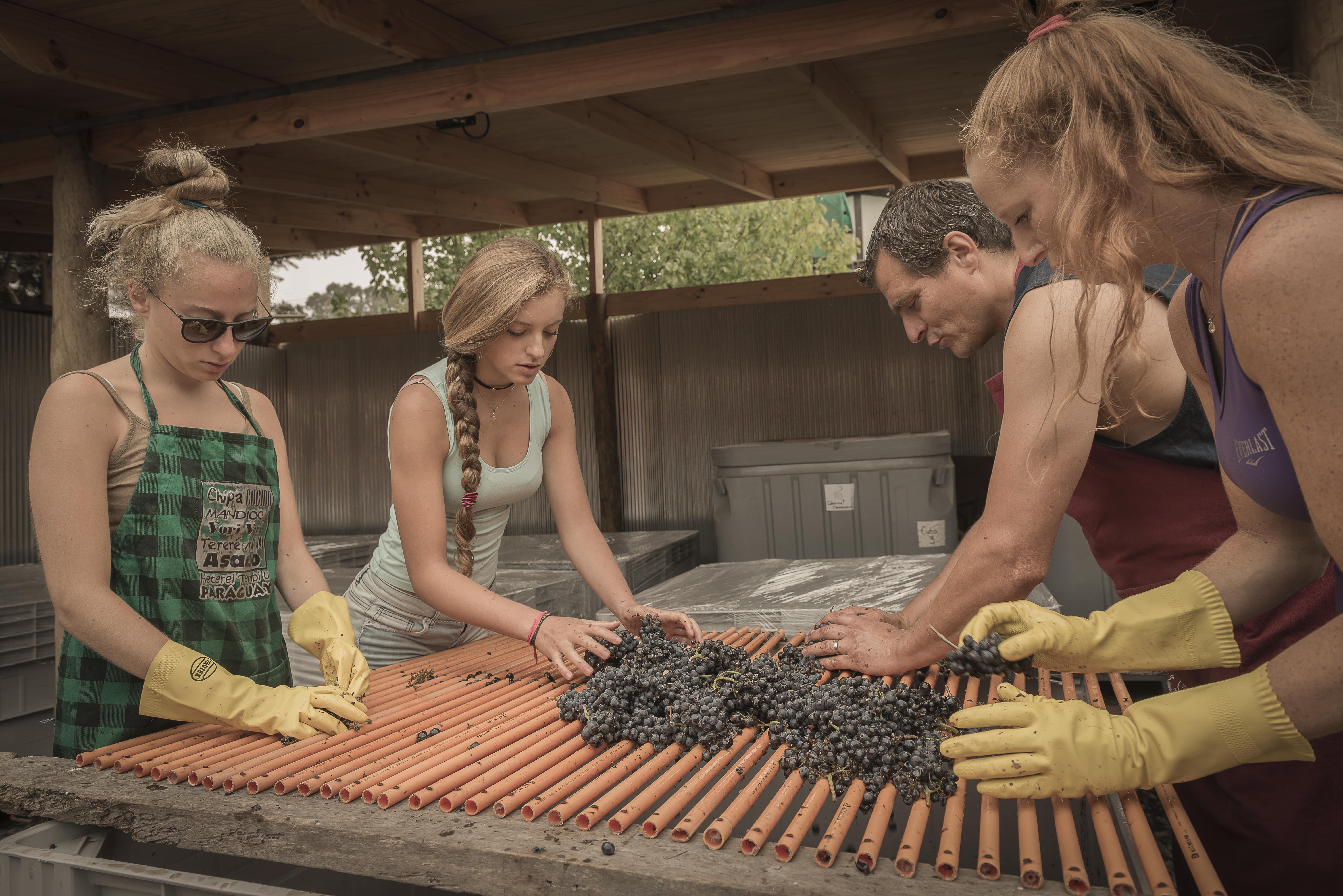 Sortering af druer på vores chilenske garage vinhus
